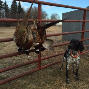 Butch with Pheasants
