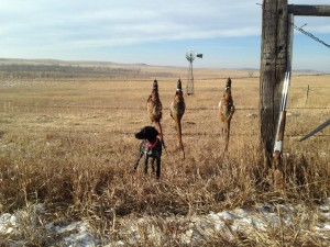 Vegas, from our 2014 litter at 4 months w/  limit of ND pheasants.